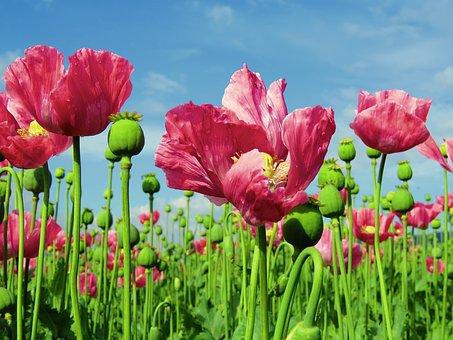 poppy-1574273__340